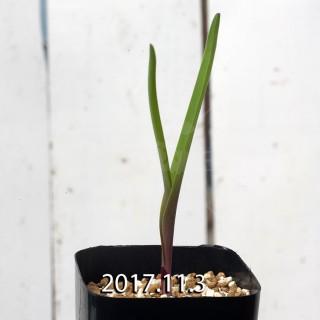 ラケナリア アロイデス クアドリカラー変種 子株 7322