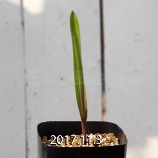 ラケナリア アロイデス クアドリカラー変種 子株 7330