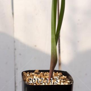 ラケナリア アロイデス クアドリカラー変種 子株 7333