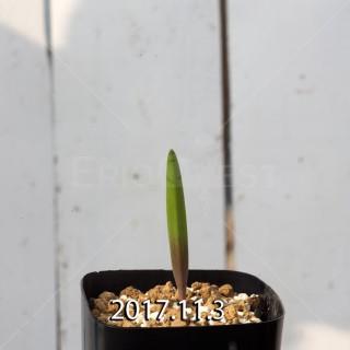 ラケナリア アロイデス クアドリカラー変種 子株 7337