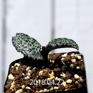 ドリミオプシス ブルケイ 子株 8673