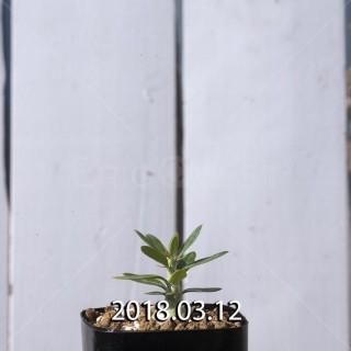パキポディウム ビスピノーサム 実生 8713