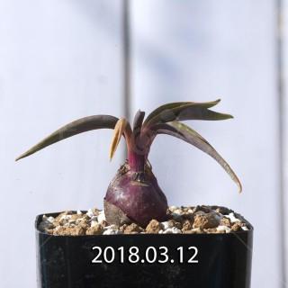 レデボウリア コリアセア DMC9654 子株 8719