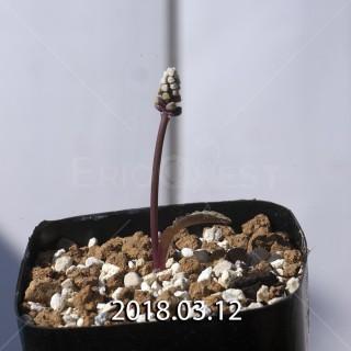 ドリミオプシス sp. EQ496 子株 8836