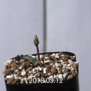 ドリミオプシス sp. EQ496 子株 8846