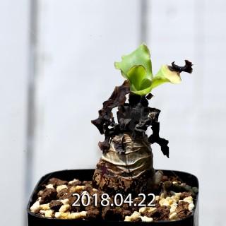 レデボウリア コンカラー DMC10146 子株 9132