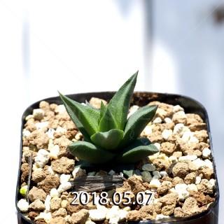 ハオルチア トルツオサ 子株 9161