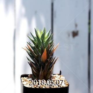 ハオルチア グラウカ ヘレイ変種 子株 9527