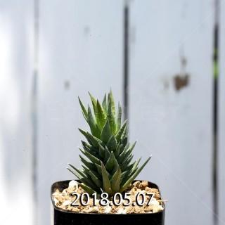 ハオルチア グラウカ ヘレイ変種 子株 9531