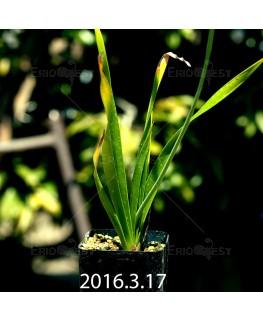 トラキアンドラ sp. 実生 1051