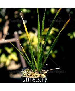 トラキアンドラ sp. 実生 1052