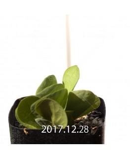 オキザリス モノフィラ 白花 子株 1829