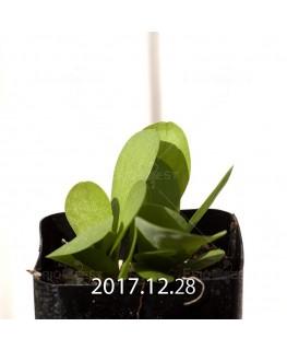 オキザリス モノフィラ 白花 子株 1849
