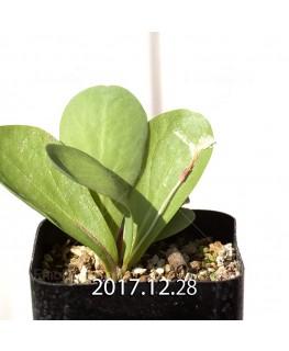 オキザリス モノフィラ 白花 子株 1850