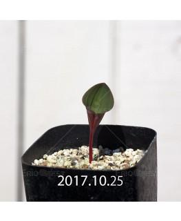 エリオスペルマム カペンセ 実生 2207