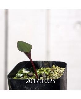 エリオスペルマム カペンセ 実生 2210