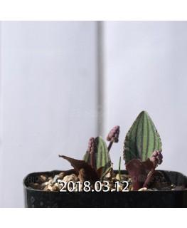 ドリミオプシス sp. nov. 子株 2860