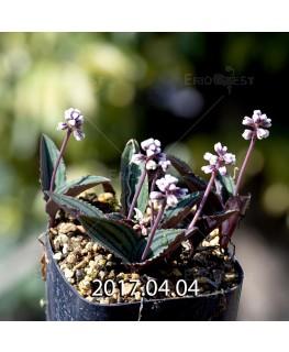 ドリミオプシス sp. nov. 子株 2861