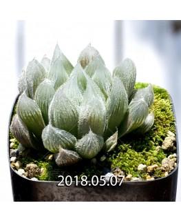 ハオルチア クーペリー ヴェヌスタ変種 GM292 子株 3449