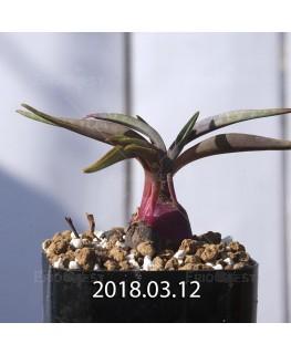 レデボウリア コリアセア DMC9654 子株 3738
