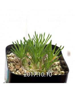 オーニソガラム sp.  子株 4003