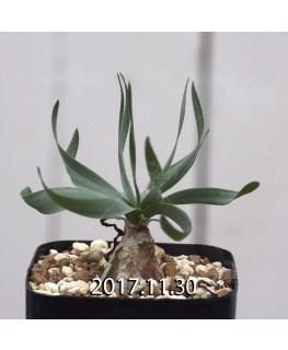 ドリミア フィソデス 子株 4217