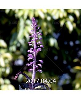 ラケナリア プスツラータ ISI2007-26 実生 4377