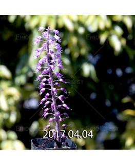 ラケナリア プスツラータ ISI2007-26 実生 4378