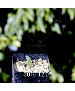 ラケナリア プスツラータ ISI2007-26 実生 4379