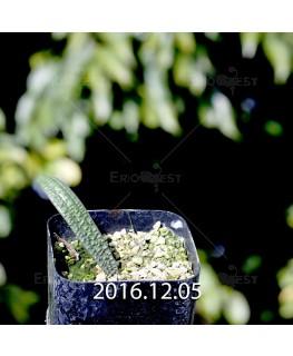 ラケナリア プスツラータ ISI2007-26 実生 4382