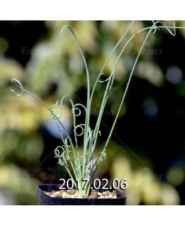 アルブカ ナマクエンシス Worcester株 × ES15533 実生 4437