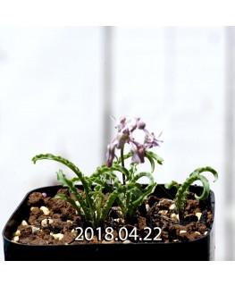 レデボウリア クリスパ 小型 子株 5475