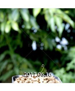 ドリミア イントリカータ IB11340 × IB11350 実生 5663
