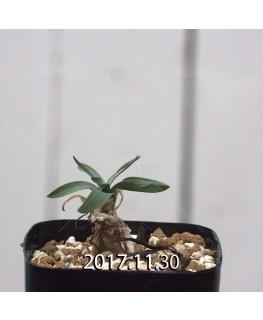 ドリミア フィソデス 子株 6681