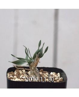 ドリミア フィソデス 子株 6684