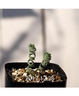 アルブカ コンコルディアナ Type-KP 子株 6973