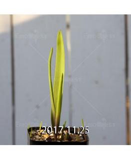 ラケナリア アロイデス クアドリカラー変種 子株 7332