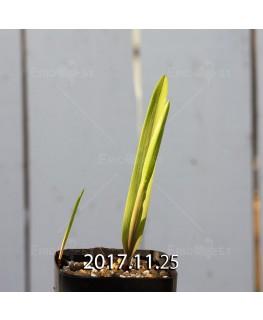 ラケナリア アロイデス クアドリカラー変種 子株 7335