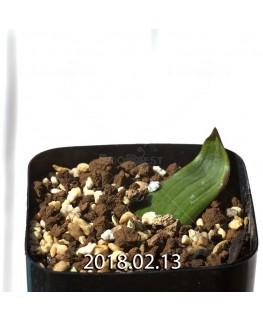 ラケナリア ネルボーサ JAA1448 実生 7767