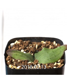 ラケナリア ネルボーサ JAA1448 実生 7770