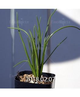 ラケナリア ロンギチューバ Type-TS 子株 7914
