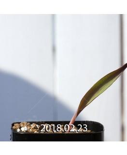 ラケナリア オーキオイデス グラウキナ変種 実生 8418