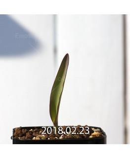 ラケナリア オーキオイデス グラウキナ変種 実生 8422