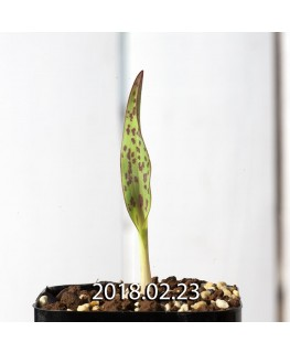 ラケナリア オーキオイデス グラウキナ変種 実生 8423