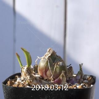 ドリミオプシス マキュラータ  LAV30689 子株 2738