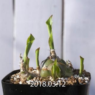 ドリミオプシス マキュラータ  LAV30689 子株 2739