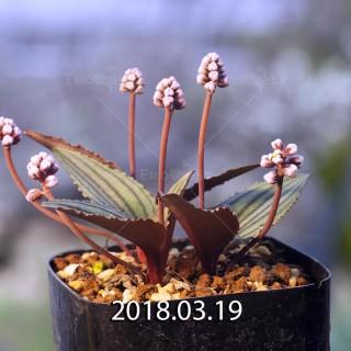 ドリミオプシス sp. nov. 子株 2846