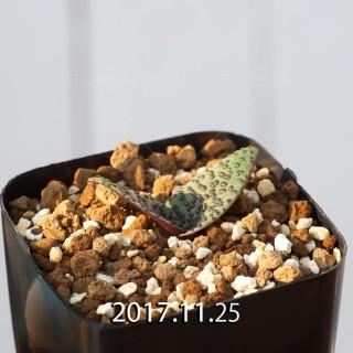 ラケナリア プスツラータ ISI2007-26 実生 4380