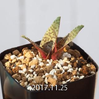 ラケナリア プスツラータ ISI2007-26 実生 4385