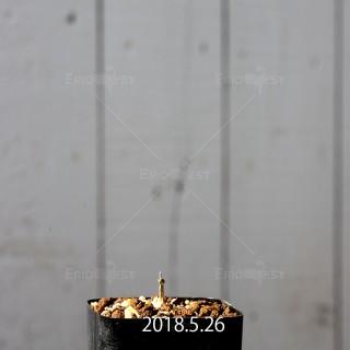 ドリミア イントリカータ IB11340 × IB11350 実生 5655